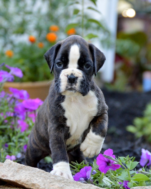 Euro Boxx Boxers Produces Quality European Boxer Puppies For Show