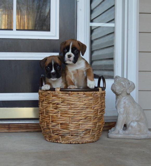 Euro Boxx Boxers produces quality european boxer puppies for