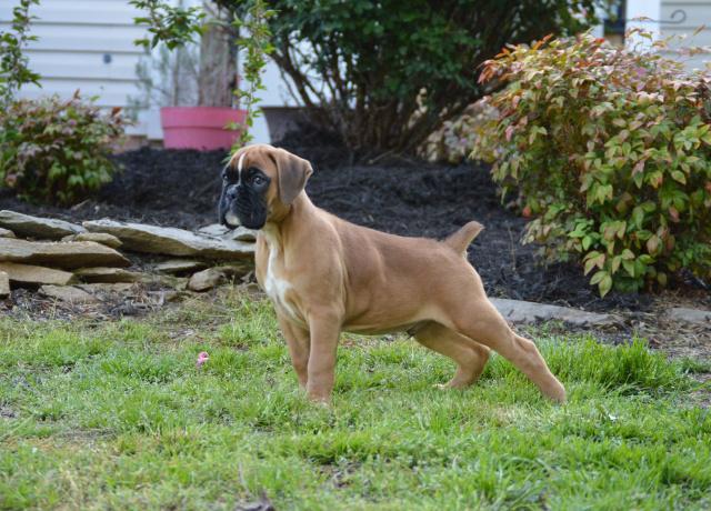 Boxer Puppies For Sale In Dallas Tx